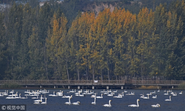 While swans swim in the lake of Pinglu County in Shanxi Province on Nov 2, 2017. [Photo: VCG]