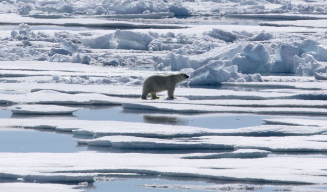 A polar bear walks over sea ice floating in the Victoria Strait in the Canadian Arctic Archipelago, Friday, July 21, 2017. [Photo: AP/David Goldman]
