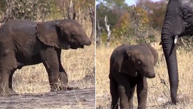 A baby elephant with its trunk missing is spotted at Kruger National Park in South Africa. [Photo: Screenshot from the video published on dailymail.co.uk]