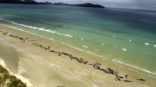 As many as 145 pilot whales have died after the mass stranding which was discovered by a hiker on Saturday, Nov. 24, 2018. [Photo: AP]