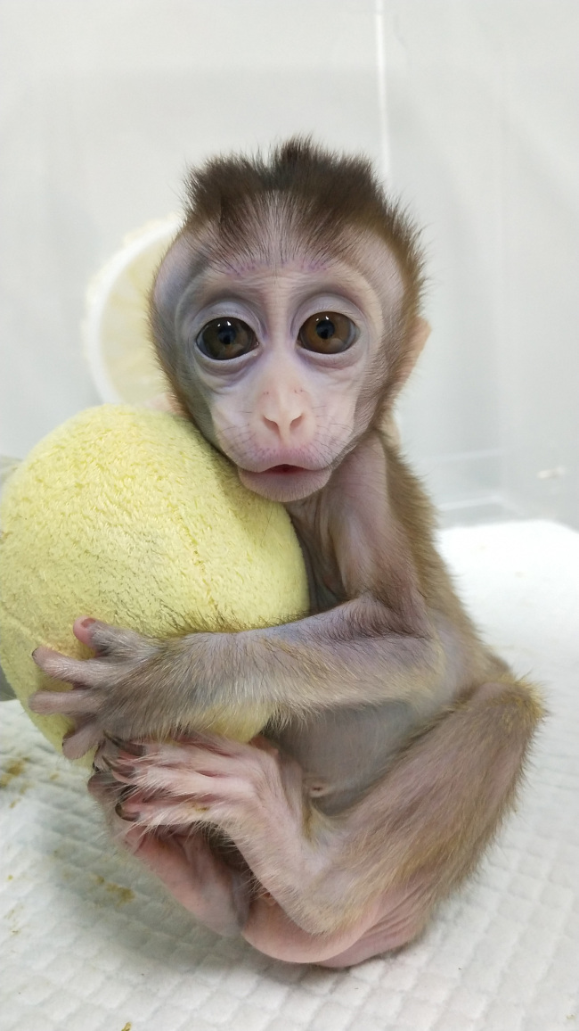 Photo shows a cloned monkey with circadian rhythm disorders. [Photo: China Plus]