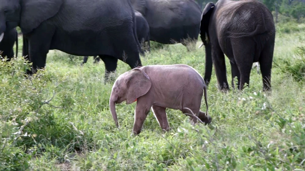ead7b3bb6d4 Rare baby pink elephant spotted in South Africa - China Plus