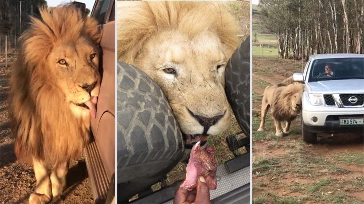 Mu-fast-car! South African lion loves vehicles