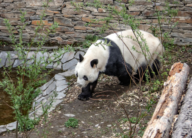 Giant panda Yuanyuan wanders before leaving for Austria at the Shenshuping breeding base of Wolong National Nature Reserve in Ngawa Tibetan and Qiang Autonomous Prefecture, southwest China's Sichuan province, 11 April 2019. [Photo: IC]