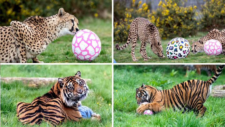 Big cats in West Midlands Zoo receive EGG-citing Easter gifts