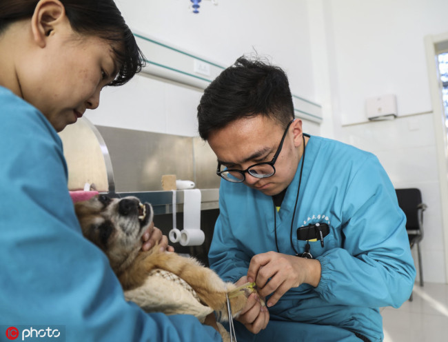 A doctor tries to inject medications and fluid replacement into the blood of a dog in a pet hospital in Shenyang city, northeast China's Liaoning province, 15 November 2017. [File Photo: IC]