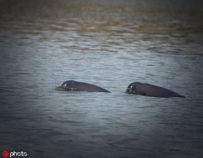 The Yangtze finless porpoises, a kind of mammal, live in shallow waters close to the banks or islets in the middle of the Yangtze River--China's longest natural waterway. [Photo: dfic.cn]