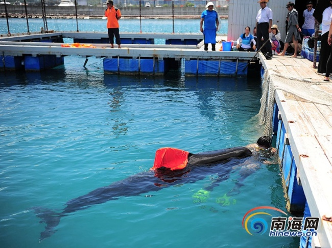 Undated photo of a volunteer looking after a stranding pilot whale, Sanya, Hainan Province. [Photo:hinews.cn]