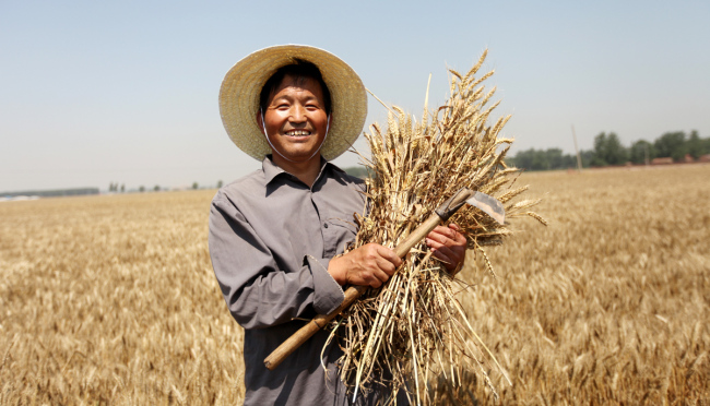 A farmer harvests wheat in the city of Anyang, Henan Province. [File photo: IC]