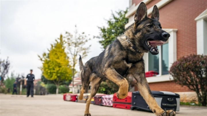 China's first cloned police dog officially enrolled by police