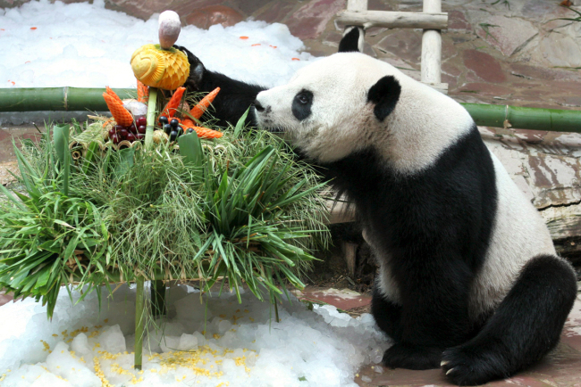 Panda Chuang Chuang enjoys his birthday cake during his birthday celebration in Chiang Mai Zoo, Chiang Mai province of Thailand, August 6, 2007. [File Photo: IC]
